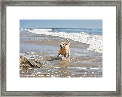 A Yellow Labrador Retriever Standing Framed Print by Zandria Muench Beraldo