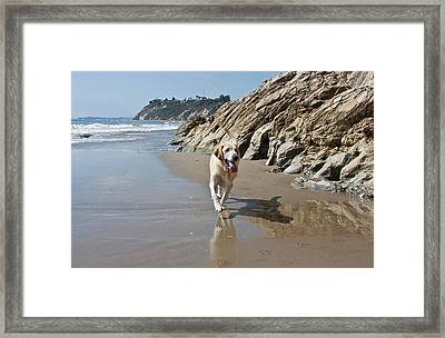 A Yellow Labrador Retriever Walking Framed Print