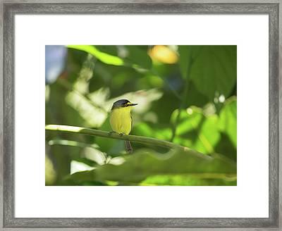 A Yellow-lored Tody Flycatcher Framed Print by Alex Saberi