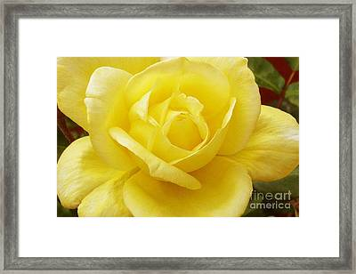 A Yellow Rose Framed Print