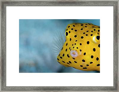 A Young Boxfish Framed Print by Scubazoo