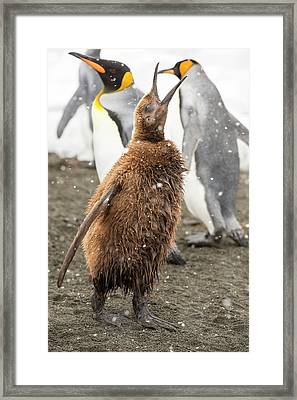 A Young King Penguin Calling Framed Print by Ashley Cooper