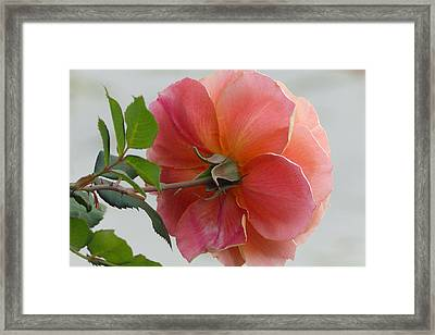 Framed Print featuring the photograph About Face Rose by Cindy McDaniel
