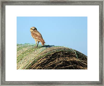 About To Bale Framed Print