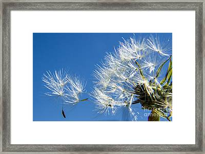 About To Leave - Dandelion Seeds Framed Print by Darleen Stry