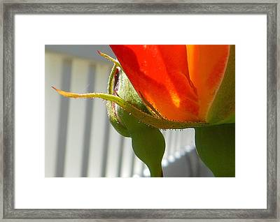 Abstract Rose Framed Print by John Norman Stewart