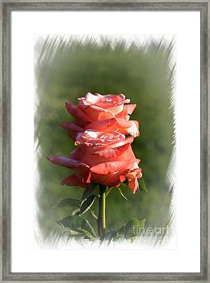 Abstract Roses Framed Print by Stefano Senise