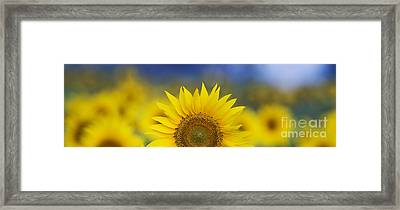 Abstract Sunflower Panoramic  Framed Print by Tim Gainey