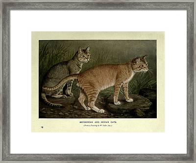 Abyssinian And Indian Cats Framed Print by Philip Ralley
