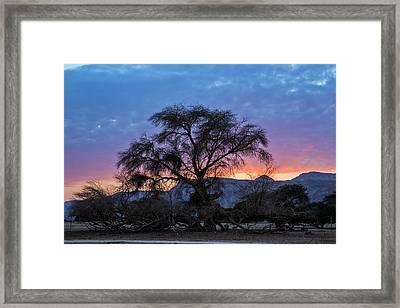 Acacia At Sunset Framed Print