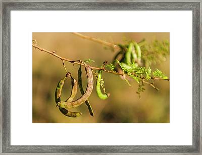 Acacia Karoo Seed Pods Framed Print by Peter Chadwick