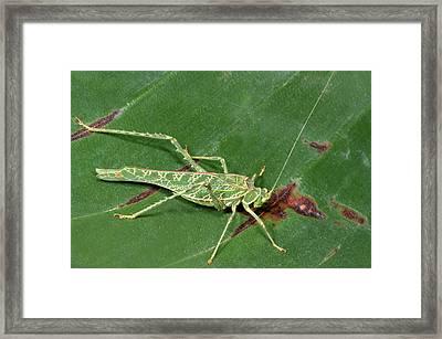 Acacia Katydid Framed Print by Nigel Downer