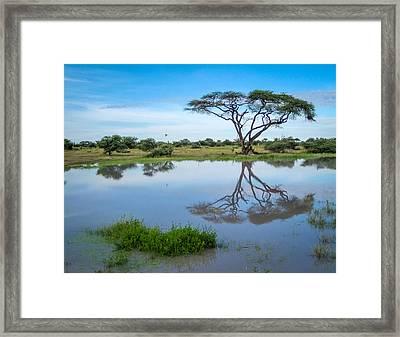 Acacia Tree Framed Print