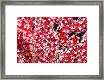 Acanthogorgia Sea Fan Framed Print