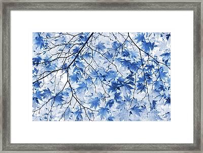 Acer Blue Framed Print