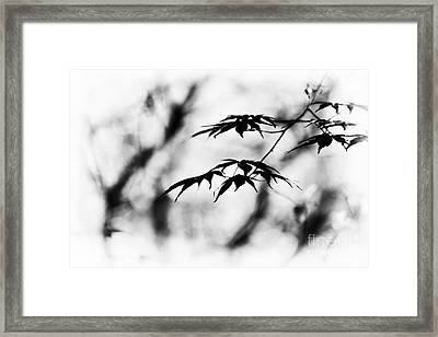 Acer Burgundy Lace Monochrome Framed Print by Tim Gainey