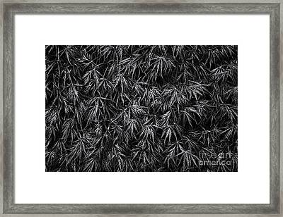 Acer Dissectum Garnet Monochrome Framed Print