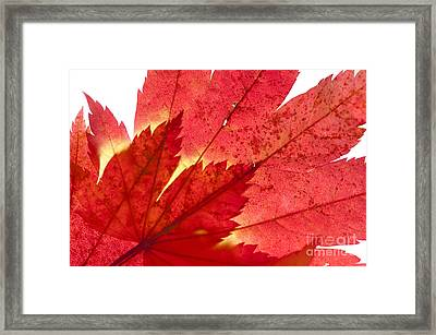 Acer From Beneath Framed Print by Anne Gilbert
