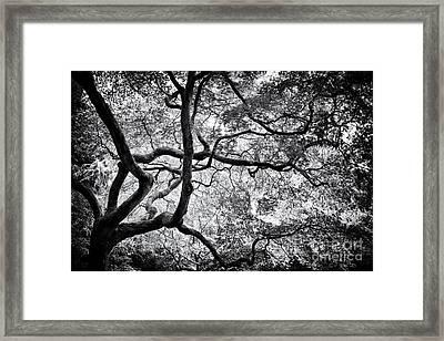 Acer Japonicum Monochrome Framed Print by Tim Gainey