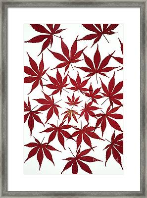 Acer Leaf Pattern Framed Print