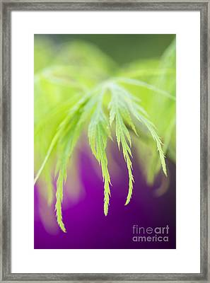 Acer Leaves Framed Print by Tim Gainey