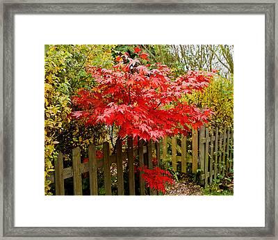 Acer  Framed Print by Liz  Alderdice