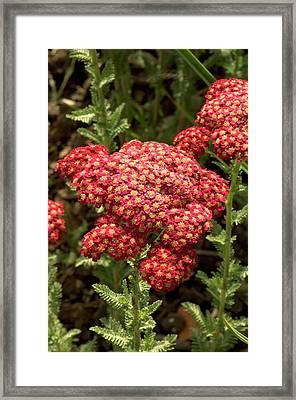 Achillea Millefolium 'red Velvet' Framed Print by Adrian Thomas
