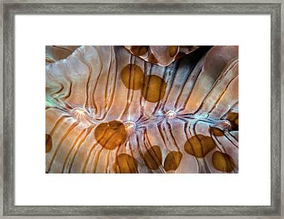 Acoelomorph Flatworms Framed Print by Ethan Daniels