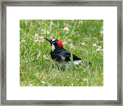 Framed Print featuring the photograph Acorn Woodpecker Foraging by Bob and Jan Shriner