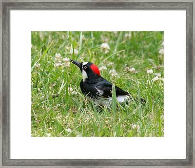 Acorn Woodpecker Foraging Framed Print by Bob and Jan Shriner