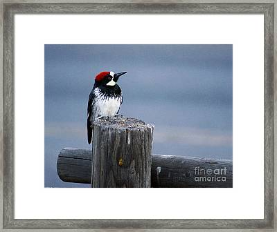 Framed Print featuring the photograph Acorn Woodpecker by Gary Brandes