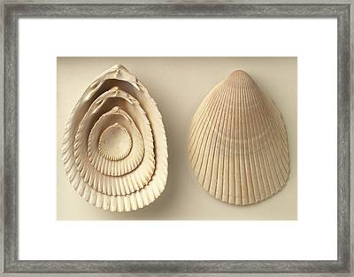 Acrosterigma Dalli Cockle Shells Framed Print