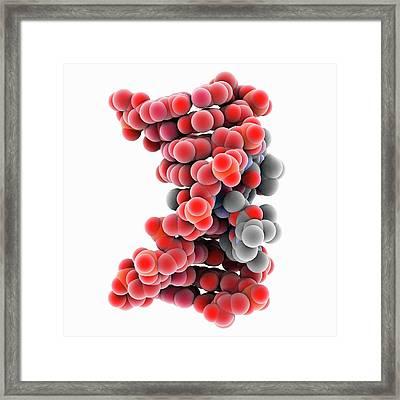 Actinomycin D Bound To Dna Framed Print