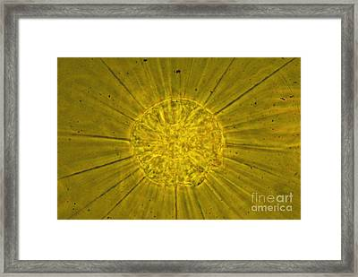 Actinophrys Sol Lm Framed Print by James W Evarts