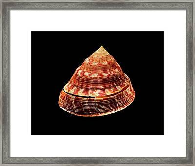 Adanson's Slit Shell Sea Snail Shell Framed Print