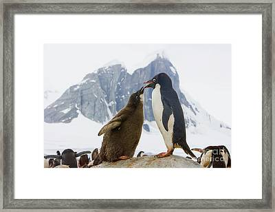 Adelie Penguin Chick Begging For Food Framed Print by Yva Momatiuk John Eastcott