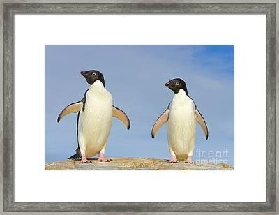 Adelie Penguin Duo Framed Print by Yva Momatiuk John Eastcott