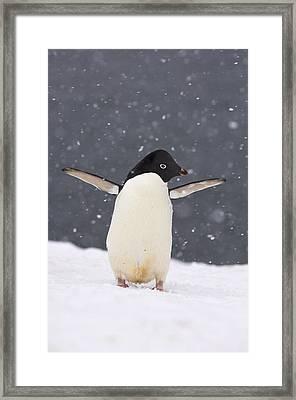 Adelie Penguin In Snowstorm Framed Print
