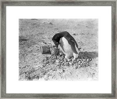 Adelie Penguin Nest In Antarctica Framed Print