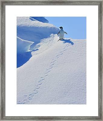 Adelie Penguin On Bergie Bit Framed Print by Tony Beck