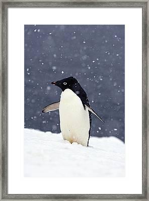 Adelie Penguin Standing In Fresh Framed Print