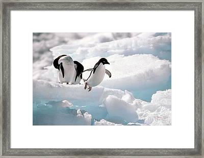 Adelie Penguins Framed Print by Art Wolfe