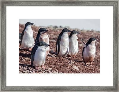 Adelie Penguins Framed Print