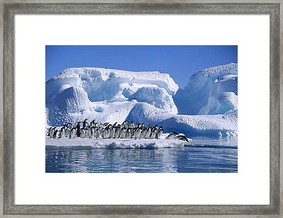 Adelie Penguins Diving From Icefloe Framed Print