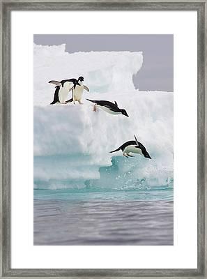 Adelie Penguins Diving Off Iceberg Framed Print by Suzi Eszterhas