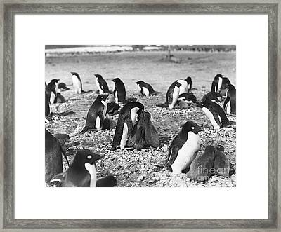 Adelie Penguins Feeding Their Young Framed Print
