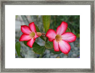 Adenium Flower Framed Print