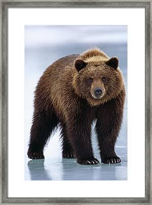 Adolescent Brown Bear Standing Framed Print by Doug Lindstrand