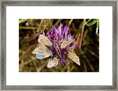 Adonis Blue Butterflies On Knapweed Framed Print by Bob Gibbons