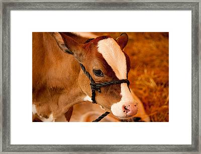 Adorable Calf Framed Print